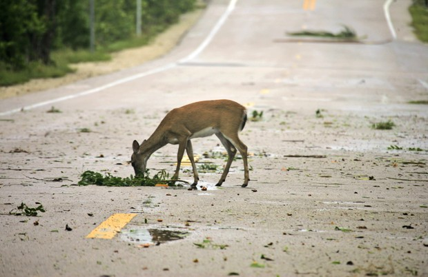 Where Urban Wildlife Surges, Is There a Need to Rethink Roadkill?